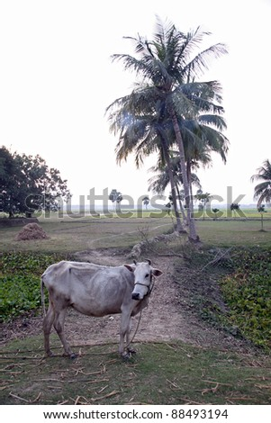Landscape with cows grazing in the rice fields in Sundarbans, West Bengal, India