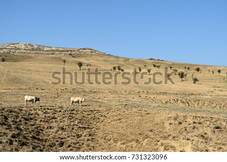 Landscape with cows grazing on the mountainside, Georgia #731323096