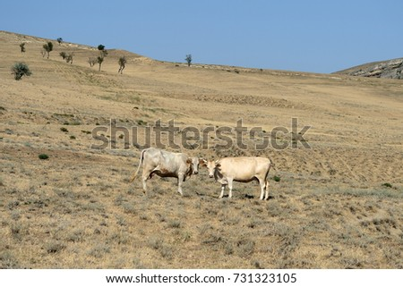 Landscape with cows grazing on the mountainside, Georgia #731323105
