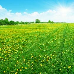 Landscape with dandelion field.