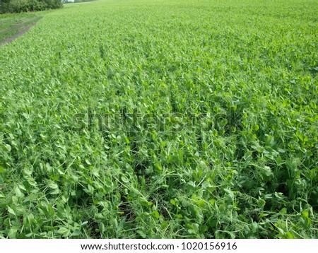Landscape with field of peas (Pisum sativum). Photo stock ©