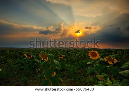landscape with fields in summer at sunset