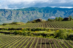 Landscape with green vineyards in Etna volcano region with mineral rich lava soil on Sicily, Italy