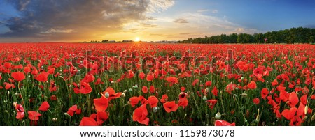Photo of  Landscape with nice sunset over poppy field - panorama