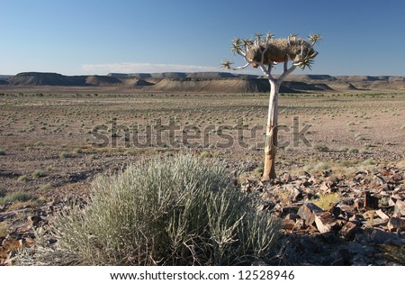 Landscape with quiver tree (Aloe dichotoma).Fish River canyon. South Namibia. Namibia