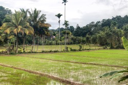Landscape with rice fields outside of Kandy in Sri Lanka