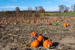 Landscape with ripe orange pumpkins on a field