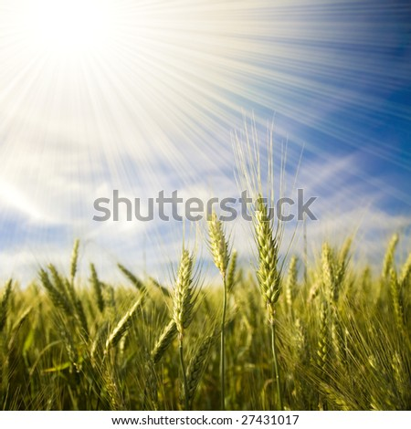 Landscape with ripened spikes of wheat field against a blue sky and shiny sunrays