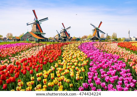 Landscape with tulips, traditional dutch windmills and houses near the canal in Zaanse Schans, Netherlands, Europe #474434224