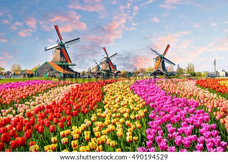 Landscape with tulips, traditional dutch windmills and houses near the canal in Zaanse Schans, Netherlands, Europe #490194529