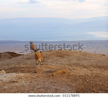 Landscape with two goats looking at the camera in the desert at sunrise  #551178895