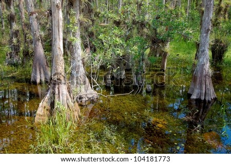 Landscape with view of Bald Cypress trees (Taxodium distichum) growing in the waters of the Big Cypress National Preserve, just north of the  Florida Everglades