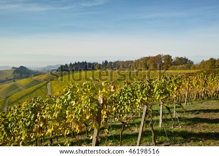 landscape with vineyard in fall with colored leaves #46198516