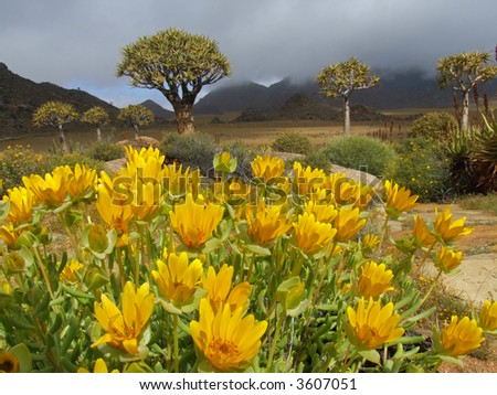 Landscape with wild flowers and quiver trees (Aloe dichotoma), Namaqualand, South Africa