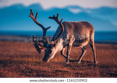 Landscape with wild reindeer. Summer Svalbard.  with massive antlers horns deer  On the Sunset, Norway. Wildlife scene from nature Spitsbergen  Сток-фото ©