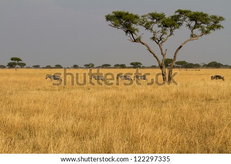 Landscape with zebra herd - stock photo