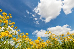 Landscape. yellow flowers growing in the meadow, view from below against the backdrop of clouds in the blue sky