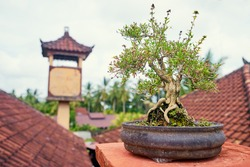 Landscaping design. Small tree bonsai at pot outdoors.