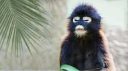 Langour monkey dreaming with the palm tree leaf on the background. Beautiful wild black monkey with the white glasses on the face.
