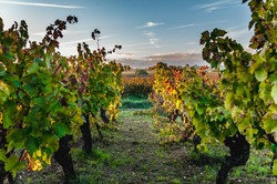 Languedoc-Roussillon vineyard in autumn at sunset