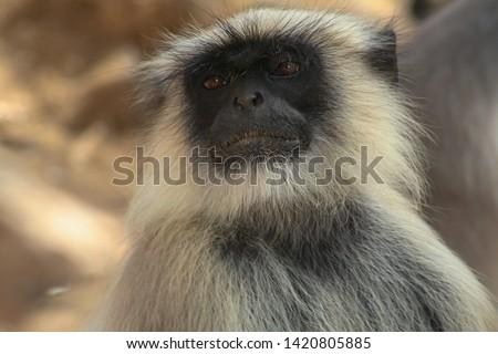Langur Monkey in Gir National Park India
