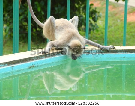 Langur monkey looks at theif reflection the water like a mirror and drinks from fountain in garden of Anuradhapura, Sri Lanka, South Asia