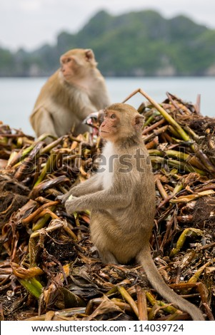 Langur Monkey over garbage searching for food in monkey islad - stock photo
