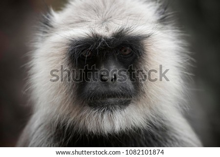 Langur Monkey portrait in Ranthambore National Park, Rajasthan, India  #1082101874