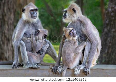 Langur monkeys in Sri Lanka