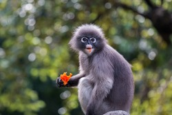 Langur or Dusky leaf monkey is residents in Thailand (Trachypithecus obscurus).