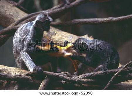 Langurs fighting over baby