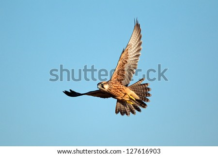 Lanner falcon (Falco biarmicus in flight against a blue sky, South Africa