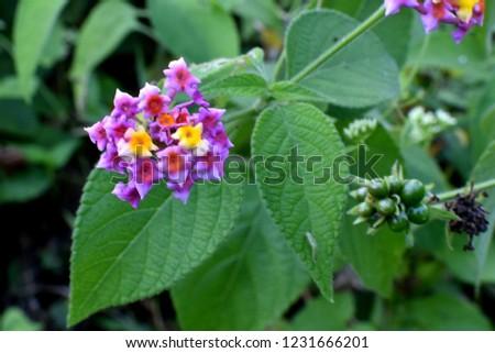 Lantana camara also known as big-sage, wild sage, red-sage,white sage and white-sage. Family: Verbenaceae. #1231666201