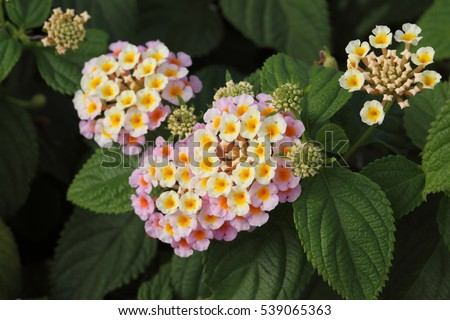Shutterstock Lantana camara flowers / bush