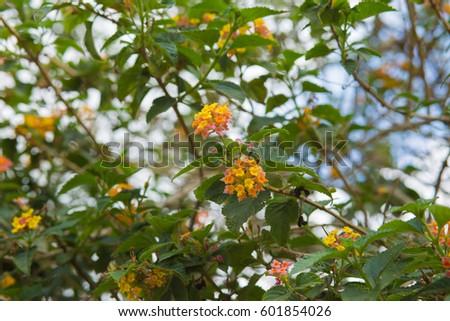 Shutterstock Lantana camara orange  flowers background.