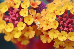 Lantana Camara. Yellow Crab Spiders use camouflage by changing its color to color of flower they are on, and wait their hunt without moving. After they catch their hunt, salivate crippling poison.