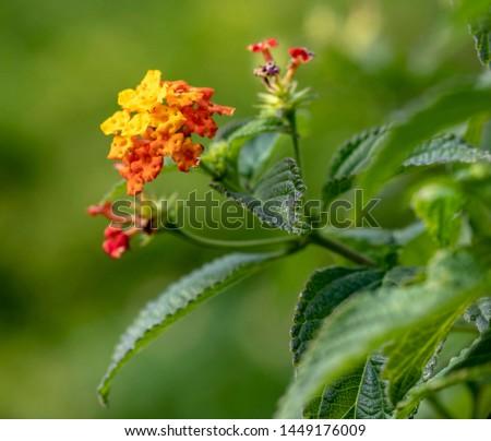 Lantana flowers in a botanical garden #1449176009