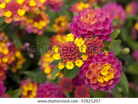 Lantana Flowers in a Nature Garden, Fresh Flowers