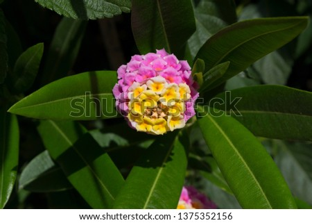 Lantana's aromatic flower clusters (called umbels) are a mix of florets these being pink and canary yellow on a large shrubby bush.