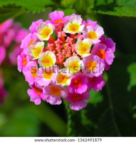 Lantana's aromatic flower clusters (called umbels) are a mix of red, orange, yellow, or blue and white florets these being pink and pale yellow on a large shrubby bush blooming in autumn.