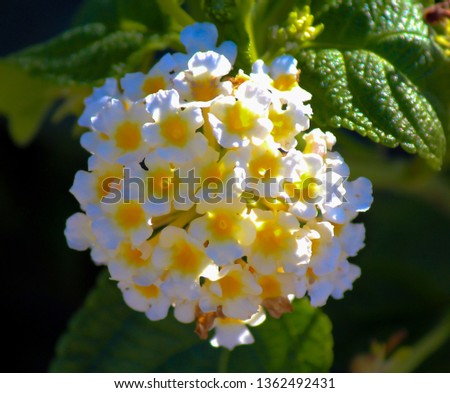 Lantana's aromatic flower clusters (called umbels) are a mix of red, orange, yellow, or blue and white florets these being white, cream and canary yellow on a large shrubby bush blooming in autumn.
