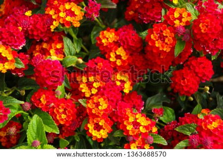 Lantana's aromatic flower clusters (called umbels) are a mix of red, orange, yellow, or blue and white florets  these being yellow orange and red on a large shrubby bush blooming in autumn.