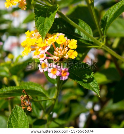 Lantana's aromatic flower clusters ( umbels)  a mix of red, orange, yellow, or blue and white florets  these being pale pink and yellow on a large shrubby bush blooming in autumn.
