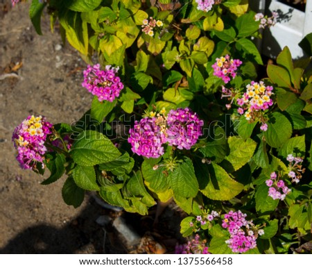 Lantana's aromatic flower clusters ( umbels)  a mix of red, orange, yellow, or blue and white florets  these being pale mauve and yellow on a large shrubby bush blooming in autumn.