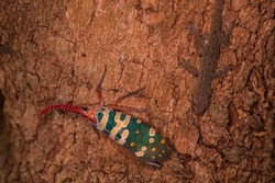 Lantern bug. Pyrops candelaria. The cicadas are in the trunk of the longan tree. Cicadidae Pyrops ducalis. A lizard drinking from the pee of a trunk cicada.