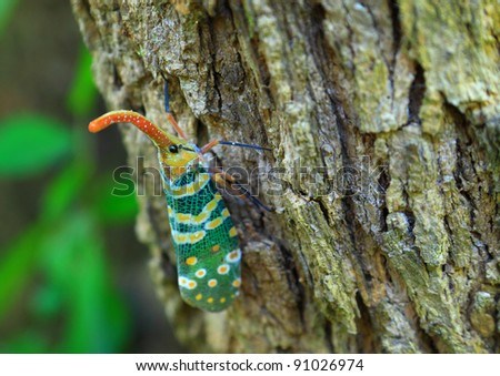 Lanternfly colorful insect ,Asian Thailand