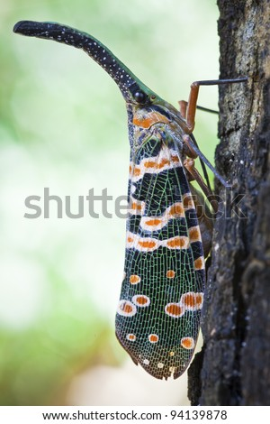 lanternfly, the insect on the lychee tree