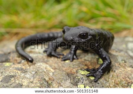 Lanza Alpine Salamander (Salamandra lanzai). Macro, portrait on a rock, grass background. Monviso, Alps, Italy.