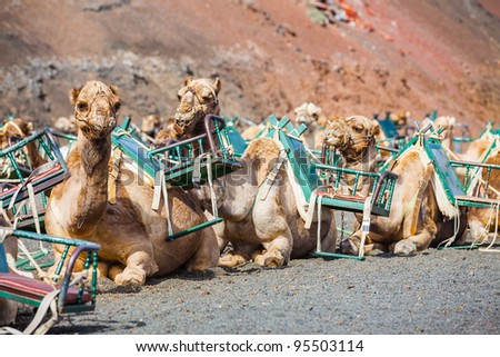 Lanzarote, Canary Islands. Some dromedaries waiting for tourist at Timanfaya National Park