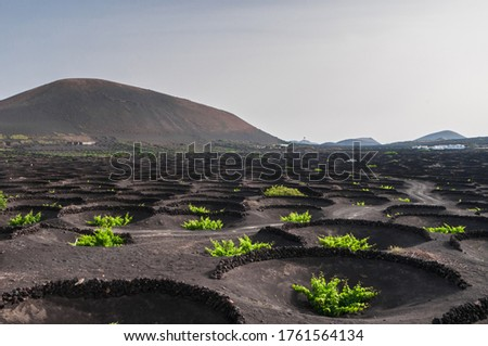 Lanzarote, Spain - 05 14 2015: The vines of the La Geria vineyards, planted in volcanic soil and protected from the wind by low walls with a volcano in the background